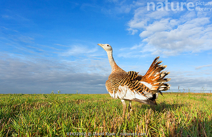 Great Bustard (Otis tarda) Salisbury Plain, part of a reintroduction project with birds imported under DEFRA licence from Russia. Salisbury Plain, Wiltshire, England, October 2012. Wing tags digitally removed, see 01432091 for original.  ,  BIRDS,BUSTARDS,CONSERVATION,ENDANGERED,ENGLAND,EUROPE,HABITAT,OTIDIDAE,REINTRODUCED,REINTRODUCTION,REINTRODUCTIONS,SALISBURY,UK,VERTEBRATES,WILTSHIRE,United Kingdom  ,  David Kjaer