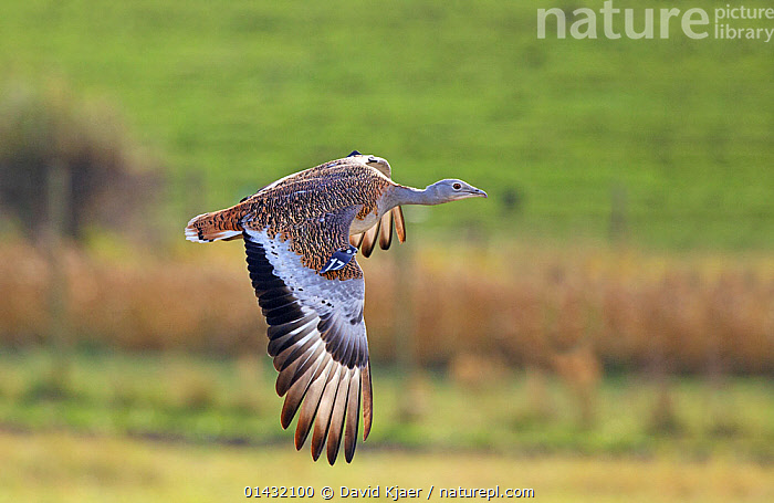 Great Bustard (Otis tarda) in flight, Salisbury Plain, part of a reintroduction project with birds imported under DEFRA licence from Russia. Salisbury Plain, Wiltshire, England, October 2012  ,  BIRDS,BUSTARDS,CONSERVATION,ENDANGERED,ENGLAND,EUROPE,FLYING,OTIDIDAE,REINTRODUCED,REINTRODUCTION,REINTRODUCTIONS,SALISBURY,UK,VERTEBRATES,WILTSHIRE,United Kingdom  ,  David Kjaer