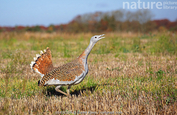 Great Bustard (Otis tarda) calling, Salisbury Plain, part of a reintroduction project with birds imported under DEFRA licence from Russia. Salisbury Plain, Wiltshire, England. November. Wing tags digitally removed, see 01432104 for original.  ,  BIRDS,BUSTARDS,CALLING,CONSERVATION,ENDANGERED,ENGLAND,EUROPE,HABITAT,OTIDIDAE,PROFILE,REINTRODUCED,REINTRODUCTION,REINTRODUCTIONS,SALISBURY,UK,VERTEBRATES,VOCALISATION,WILTSHIRE,United Kingdom  ,  David Kjaer
