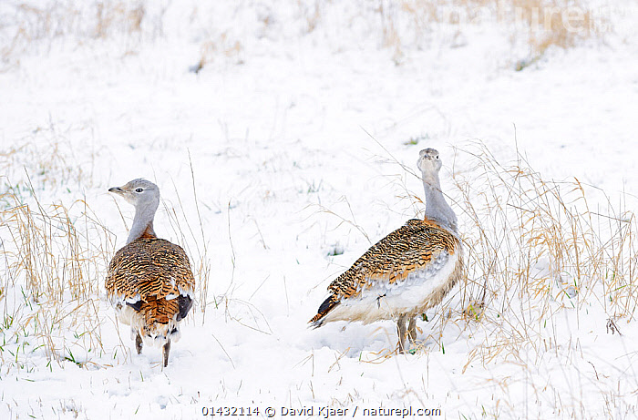 Great Bustards (Otis tarda) in snow, on Salisbury Plain, part of a reintroduction project with birds imported under DEFRA licence from Russia. Salisbury Plain, Wiltshire, England, January  ,  BIRDS,BUSTARDS,COLD,CONSERVATION,ENDANGERED,ENGLAND,EUROPE,OTIDIDAE,REAR VIEWS,REINTRODUCED,REINTRODUCTION,REINTRODUCTIONS,SALISBURY,SNOW,TWO,UK,VERTEBRATES,WILTSHIRE,WINTER,United Kingdom  ,  David Kjaer
