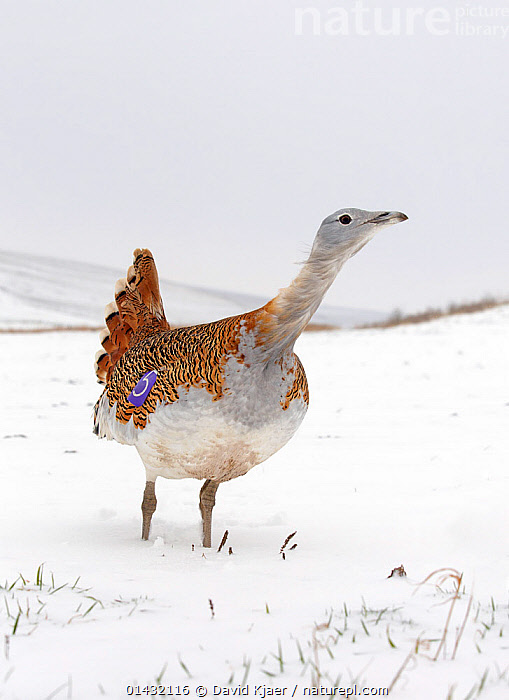 Great Bustard (Otis tarda) in snow on Salisbury Plain, part of a reintroduction project with birds imported under DEFRA licence from Russia. Salisbury Plain, Wiltshire, England, January.  ,  BIRDS,EUROPE,OTIDIDAE,REINTRODUCTION,REINTRODUCTIONS,SALISBURY,VERTICAL,BUSTARDS,CONSERVATION,ENDANGERED,ENGLAND,REINTRODUCED,SNOW,UK,VERTEBRATES,WILTSHIRE,WINTER,United Kingdom  ,  David Kjaer
