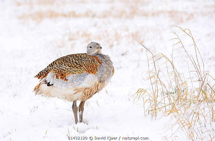 Great Bustard (Otis tarda) female puffed up against the cold, in snow on Salisbury Plain, part of a reintroduction project with birds imported under DEFRA licence from Russia. Salisbury Plain, Wiltshire, England, January  ,  BIRDS,BUSTARDS,CONSERVATION,ENDANGERED,ENGLAND,EUROPE,FEMALES,OTIDIDAE,PROFILE,REINTRODUCED,REINTRODUCTION,REINTRODUCTIONS,SALISBURY,SNOW,THERMOREGULATION,UK,VERTEBRATES,WILTSHIRE,WINTER,United Kingdom  ,  David Kjaer