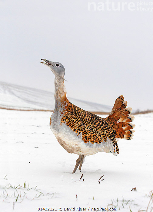 Great Bustard (Otis tarda) calling in snow on Salisbury Plain, part of a reintroduction project with birds imported under DEFRA licence from Russia. Salisbury Plain, Wiltshire, England, January. Wing tags digitally removed.  ,  BIRDS,EUROPE,OTIDIDAE,REINTRODUCTION,REINTRODUCTIONS,SALISBURY,VERTICAL,BUSTARDS,CALLING,CONSERVATION,ENDANGERED,ENGLAND,PROFILE,REINTRODUCED,SNOW,UK,VERTEBRATES,VOCALISATION,WILTSHIRE,WINTER,United Kingdom  ,  David Kjaer