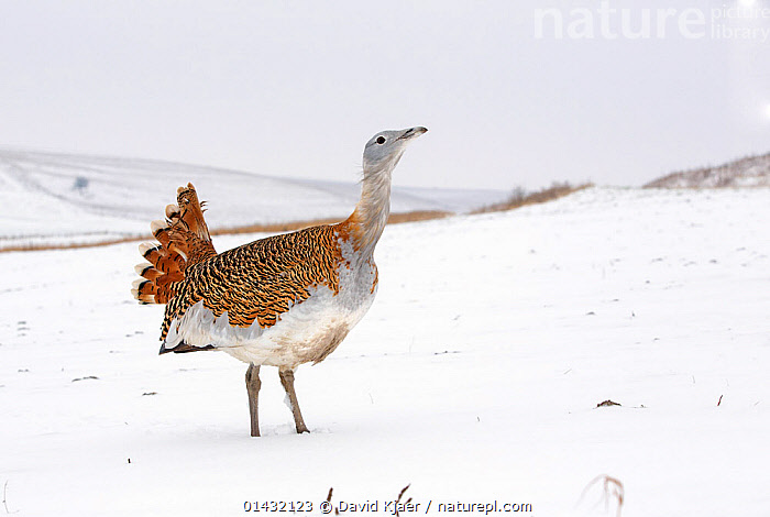 Great Bustard (Otis tarda) calling in snow, on Salisbury Plain, part of a reintroduction project with birds imported under DEFRA licence from Russia. Salisbury Plain, Wiltshire, England, January. Wing tags digitally removed.  ,  BIRDS,BUSTARDS,CALLING,CONSERVATION,ENDANGERED,ENGLAND,EUROPE,OTIDIDAE,PROFILE,REINTRODUCED,REINTRODUCTION,REINTRODUCTIONS,SALISBURY,SNOW,UK,VERTEBRATES,VOCALISATION,WILTSHIRE,WINTER,United Kingdom  ,  David Kjaer