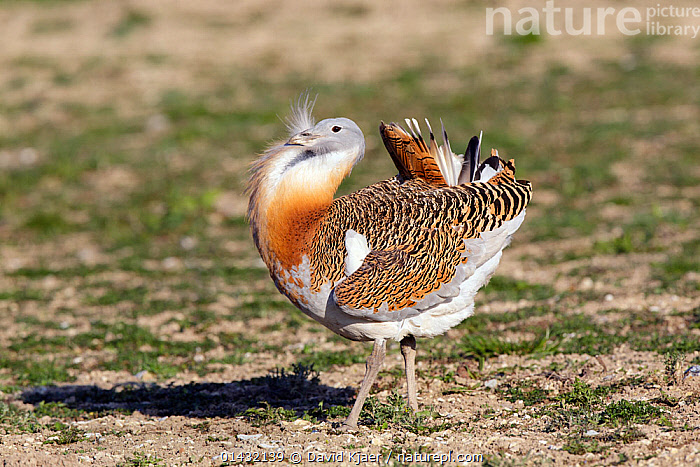Great Bustard (Otis tarda) adult male in breeding plumage on Salisbury Plain, part of a reintroduction project with birds imported under DEFRA licence from Russia. Salisbury Plain, Wiltshire, England, March. Wing tags digitally removed.  ,  BIRDS,BREEDING PLUMAGE,BUSTARDS,CONSERVATION,ENDANGERED,ENGLAND,EUROPE,MALES,OTIDIDAE,REINTRODUCED,REINTRODUCTION,REINTRODUCTIONS,SALISBURY,UK,VERTEBRATES,WILTSHIRE,United Kingdom  ,  David Kjaer