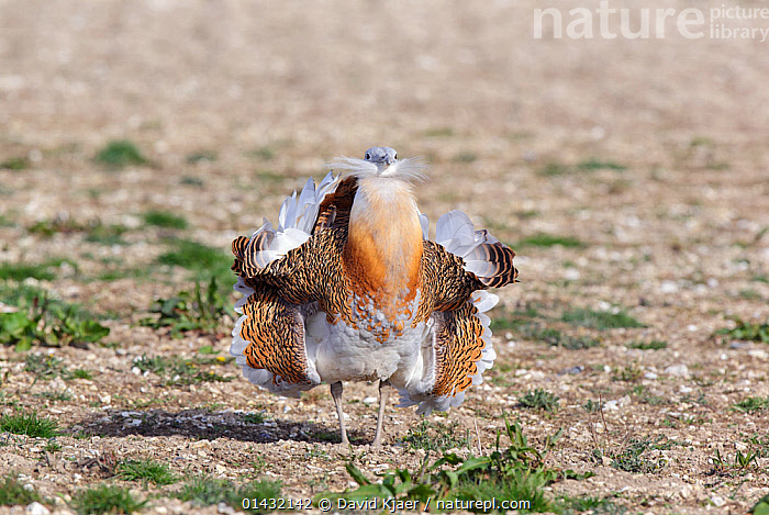 Great Bustard (Otis tarda) adult male breeding plumage in full spring display, on Salisbury Plain, part of a reintroduction project with birds imported under DEFRA licence from Russia. Salisbury Plain, Wiltshire, England, March. Wing tags digitally removed, see 0143241 for original.  ,  BIRDS,BREEDING PLUMAGE,BUSTARDS,CONSERVATION,COURTSHIP,DISPLAY,ENDANGERED,ENGLAND,EUROPE,MALES,MATING BEHAVIOUR,OTIDIDAE,REINTRODUCED,REINTRODUCTION,REINTRODUCTIONS,SALISBURY,UK,VERTEBRATES,WILTSHIRE,Communication,United Kingdom  ,  David Kjaer