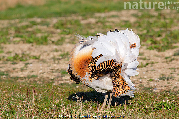 Great Bustard (Otis tarda) adult male breeding plumage in full spring display on Salisbury Plain, part of a reintroduction project with birds imported under DEFRA licence from Russia. Salisbury Plain, Wiltshire, England, March. Wing tags digitally removed.  ,  BIRDS,BREEDING PLUMAGE,BUSTARDS,CONSERVATION,COURTSHIP,DISPLAY,ENDANGERED,ENGLAND,EUROPE,MALES,MATING BEHAVIOUR,OTIDIDAE,REINTRODUCED,REINTRODUCTION,REINTRODUCTIONS,SALISBURY,UK,VERTEBRATES,WILTSHIRE,Communication,United Kingdom  ,  David Kjaer