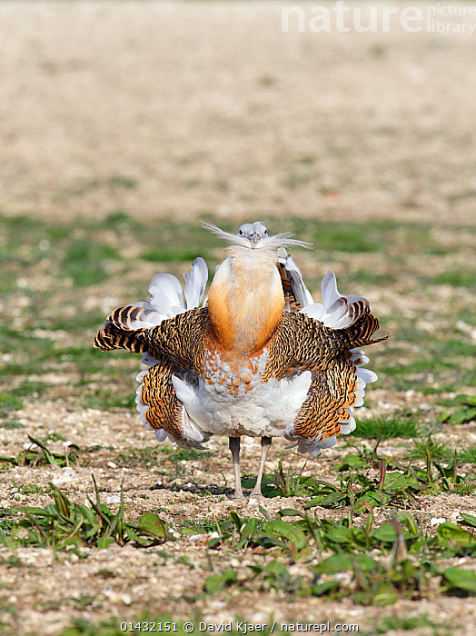 Great Bustard (Otis tarda) adult male breeding plumage displaying on Salisbury Plain, part of a reintroduction project with birds imported under DEFRA licence from Russia. Salisbury Plain, Wiltshire, England. Wing tags digitally removed.  ,  BIRDS,BREEDING PLUMAGE,BUSTARDS,CONSERVATION,COURTSHIP,DISPLAY,ENDANGERED,ENGLAND,EUROPE,MALES,MATING BEHAVIOUR,OTIDIDAE,REINTRODUCED,REINTRODUCTION,REINTRODUCTIONS,SALISBURY,UK,VERTEBRATES,WILTSHIRE,Communication,United Kingdom  ,  David Kjaer