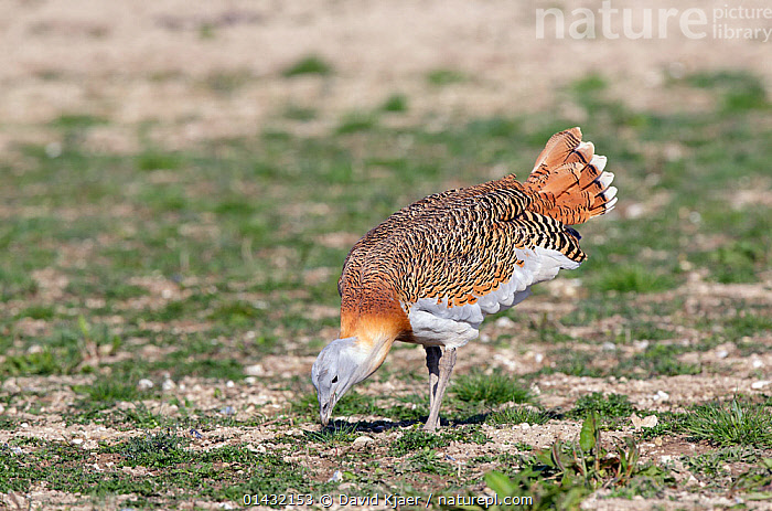 Great Bustard (Otis tarda) adult male in breeding plumage feeding on Salisbury Plain, part of a reintroduction project with birds imported under DEFRA licence from Russia. Salisbury Plain, Wiltshire, England. Wing tags digitally removed.  ,  BIRDS,BREEDING PLUMAGE,BUSTARDS,CONSERVATION,ENDANGERED,ENGLAND,EUROPE,FEEDING,MALES,OTIDIDAE,REINTRODUCED,REINTRODUCTION,REINTRODUCTIONS,SALISBURY,UK,VERTEBRATES,WILTSHIRE,United Kingdom  ,  David Kjaer