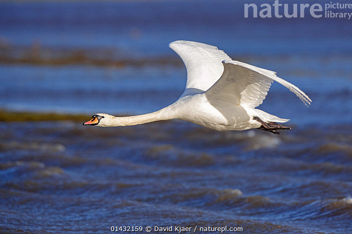 Mute Swan (Cygnus olor) in flight, Gloucestershire, England  ,  ANATIDAE,BIRDS,ENGLAND,EUROPE,FLYING,SWANS,UK,VERTEBRATES,WATERFOWL,United Kingdom,Wildfowl  ,  David Kjaer