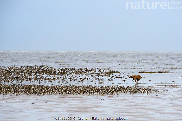 Dog chasing and disturbing a flock of Knots (Calidris canutus) on a beach, Hoylake, Wirral  ,  BEACHES,BIRDS,CANIDAE,CANIS FAMILIARIS,COASTS,DOGS,DOMESTIC DOG,GROUPS,LOOSE,RUNNING,WADERS,FLOCKS,OFF THE LEAD,PETS,PLAYFUL,RED KNOT,SANDPIPERS,SCOLOPACIDAE,UNSUPERVIZED,VERTEBRATES  ,  Graham Eaton