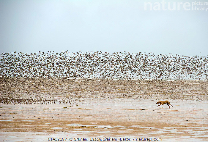 Dog chasing and disturbing a flock of Knot (Calidris canutus) on a beach, Hoylake, Wirral, chase,chasing,dee,disturb,disturbing,Dog,eaton,exercise,flight,gather,Hoylake,loose,panic,roost,threat,unsupervised,walk,WINTER,wirral,catalogue6,CALIDRIS CANUTUS,Animal,Vertebrate,Birds,Sandpiper,Stint,Knot,Canis familiaris,Animalia,Animal,Wildlife,Vertebrate,Chordate,Aves,Birds,Charadriiformes,Scolopacidae,Sandpiper,Wader,Shorebird,Calidris,Stint,Calidris canutus,Knot,Red knot,Lesser knot,European knot,On The Move,Flocking,Flocks,Many,Group,Large Group,No One,Nobody,Wet,Europe,Western Europe,UK,Great Britain,England,Merseyside,Wirral,Copy Space,Beach,Sands,Outdoors,Open Air,Outside,Day,Coast,Coastal,Domestic animal,Pet,Domestic Dog,Domestic animals,Domesticated,Canis familiaris,Multitude,Mass,Dog,Negative space,Moving,Outnumbered,United Kingdom, Graham Eaton,Graham  Eaton