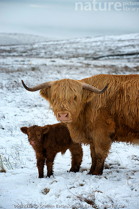 Nature Picture Library Highland cow with calf on moorland ... - photo#28