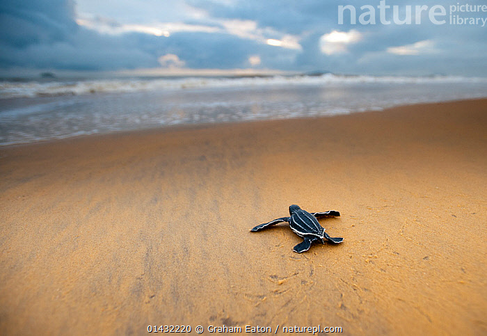Leatherback Turtle Hatchling (Dermochelys coriacea) crossing a beach towards the sea, Cayenne, French Guiana, July  ,  ATLANTIC OCEAN,BABIES,BEACHES,CLOUDS,COASTS,REPTILES,BEGINNINGS,CHELONIA,ENDANGERED,JOURNEYS,MARINE,SANDY,SEA TURTLES,SOUTH AMERICA,THE SEA,TURTLES,YOUNG,Weather  ,  Graham Eaton