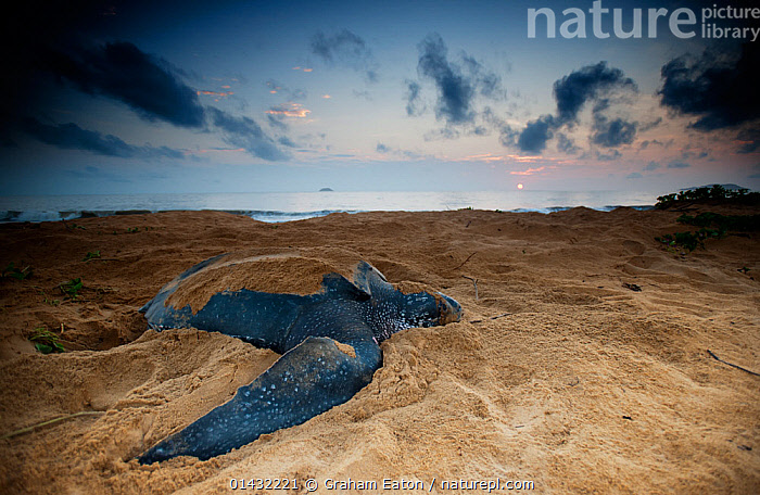 Leatherback Turtle (Dermochelys coriacea) egg laying on a beach, Cayenne, French Guiana  ,  ATLANTIC OCEAN,BEACHES,COASTS,EGG LAYING,REPTILES,CHELONIA,DUSK,EGGS,ENDANGERED,FEMALES,MARINE,SEA TURTLES,SOUTH AMERICA,TURTLES  ,  Graham Eaton