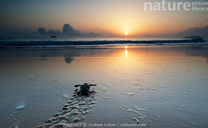 Leatherback Turtle Hatchling (Dermochelys coriacea) crossing a beach towards the sea at dawn, Cayenne, French Guiana, July  ,  ATLANTIC OCEAN,BABIES,BEACHES,COASTS,DAWN,REPTILES,BEGINNINGS,CHELONIA,ENDANGERED,JOURNEYS,LANDSCAPES,MARINE,SEA TURTLES,SOUTH AMERICA,SUNRISE,TURTLES,YOUNG  ,  Graham Eaton