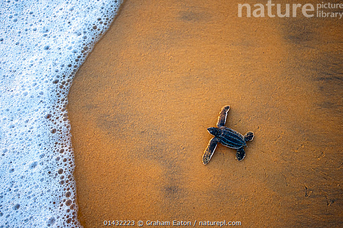 Leatherback Turtle Hatchling (Dermochelys coriacea) crossing a beach towards the sea, Cayenne, French Guiana, July  ,  ATLANTIC OCEAN,BABIES,BEACHES,COASTS,REPTILES,BEGINNINGS,CHELONIA,ENDANGERED,FOAM,HIGH ANGLE SHOT,MARINE,SEA TURTLES,SOUTH AMERICA,THE SEA,TURTLES,YOUNG  ,  Graham Eaton