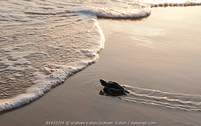 A hatchling Leatherback Turtle (Dermochelys coriacea) nearing the waters edge, Cayenne, French Guiana  ,  ATLANTIC OCEAN,BABIES,BEACHES,COASTS,REPTILES,BEGINNINGS,CHELONIA,ENDANGERED,MARINE,SEA TURTLES,SOUTH AMERICA,TURTLES,WAVES,YOUNG,catalogue6,DERMOCHELYS CORIACEA,Animal,Vertebrate,Reptile,Testitudine,Sea turtles,Leatherback,Animalia,Animal,Wildlife,Vertebrate,Chordate,Reptilia,Reptile,Chelonii,Testitudine,Dermochelyidae,Sea turtles,Turtle,Dermochelys,Dermochelys coriacea,Leatherback,Leathery Turtle,Luth,Trunkback Turtle,Testudo coriacea,Testudo lyra,Chelonia lutaria,Adventure,Adventures,Adventurous,Cute,Adorable,Independence,Independent,Alone,Solitude,Solitary,No One,Nobody,Wet,Size,Small,Little,Tiny,Latin America,South America,High Angle View,Side View,Sands,Tide,Tides,Water&#39,s Edge,Outdoors,Open Air,Outside,Day,Guyane,Guiana,Elevated view,Cayenne,Leaving,Departure,Setting off,Endangered species,threatened,Critically endangered  ,  Graham Eaton,Graham  Eaton