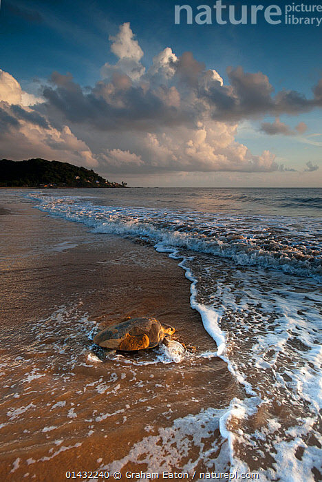 Olive Ridley Turtle (Lepidochelys olivacea), returning to the sea after laying eggs, Cayenne, French Guiana  ,  CHELONIA,ENDANGERED,MARINE,SEA TURTLES,SOUTH AMERICA,THE SEA,TURTLES,WAVES,ATLANTIC OCEAN,BEACHES,CLOUDS,COASTS,REPTILES,VERTICAL,Weather  ,  Graham Eaton