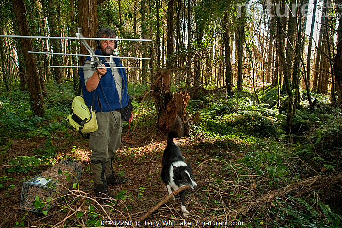 Pete Turner radio tracking pine martens (Martes martes) accompanied by border collie dog, Pine marten research by the Waterford Institute of Technology, Ireland.  August 2008  ,  CARNIVORES,CONSERVATION,MUSTELIDS,PEOPLE,PETS,RADIO TRACKING,RESEARCH,SCIENCE,TELEMTRY,VERTEBRATES,WOODLANDS,DOGS,EIRE,EUROPE,IRELAND,MAMMALS,MAN,MARTENS,MUSTELIDAE,ZOOLOGY  ,  Terry Whittaker