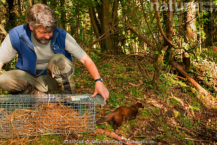 Pete Turner releases Pine Marten (Martes martes) from trap after removing radio collar. Pine marten research by the Waterford Institute of Technology, Ireland. August 2008  ,  EIRE,EUROPE,IRELAND,MAMMALS,MARTENS,MUSTELIDAE,ZOOLOGY,CARNIVORES,CONSERVATION,MUSTELIDS,RESEARCH,SCIENCE,TRAPPING,VERTEBRATES  ,  Terry Whittaker