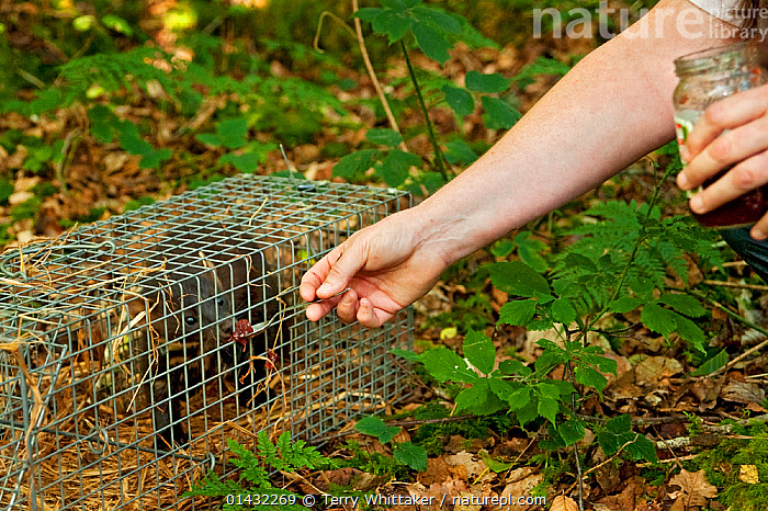 Researcher feeding jam to trapped Pine Marten (Martes martes)  Pine marten research by the Waterford Institute of Technology, Ireland. August 2008  ,  EIRE,EUROPE,IRELAND,MAMMALS,MARTENS,MUSTELIDAE,ZOOLOGY,CARNIVORES,CONSERVATION,MUSTELIDS,RESEARCH,SCIENCE,VERTEBRATES  ,  Terry Whittaker