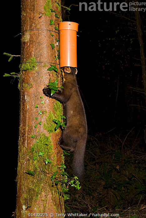 Pine marten (Martes martes) finding bait in plastic tube, left to collect hair samples for DNA analysis to study the interrelatedness and distribution of pine martens. Pine marten research by the Waterford Institute of Technology, Ireland. Camera trap photo. September 2009  ,  EIRE,EUROPE,IRELAND,MAMMALS,MARTENS,MUSTELIDAE,ZOOLOGY,CAMERA TRAPS,CARNIVORES,CONSERVATION,FEEDING,MUSTELIDS,NIGHT,REMOTE CAMERA,RESEARCH,SCIENCE,SNOW,VERTEBRATES,WINTER  ,  Terry Whittaker