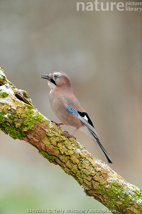 Jay (Garrulus glandarius) perched on frosty branch, Kent, UK. January 2013  ,  BIRDS,EUROPE,JAYS,CORVIDAE,ENGLAND,FROST,MOSS,PROFILE,SONGBIRDS,UK,VERTEBRATES,WINTER,Weather,United Kingdom  ,  Terry Whittaker