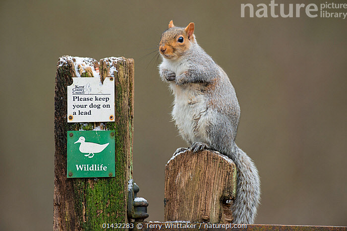 Grey Squirrel (Sciurus carolinensis) on post next to sign which reads 'Please keep your dog on a lead' Kent, UK. January 2013  ,  DOGS,EUROPE,MAMMALS,SCIURIDAE,SIGNS,SQUIRRELS,ENGLAND,RODENTS,UK,VERTEBRATES,United Kingdom  ,  Terry Whittaker
