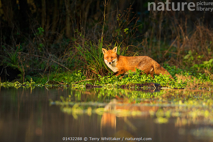 Red fox (Vulpes vulpes) at edge of stream, Kent, UK. January 2013  ,  CANIDAE,CANIDS,EUROPE,FOXES,MAMMALS,REFLECTIONS,WATER,CARNIVORES,ENGLAND,FRESHWATER,HABITAT,STREAMS,UK,VERTEBRATES,United Kingdom,Dogs  ,  Terry Whittaker