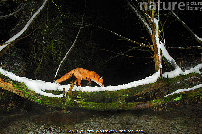 Red fox (Vulpes vulpes) crossing stream on on fallen willow tree. Kent, UK. January 2013  ,  CANIDAE,CANIDS,COLD,FOXES,MAMMALS,TREES,WATER,CARNIVORES,FRESHWATER,SNOW,STREAMS,VERTEBRATES,WINTER,PLANTS,Dogs  ,  Terry Whittaker