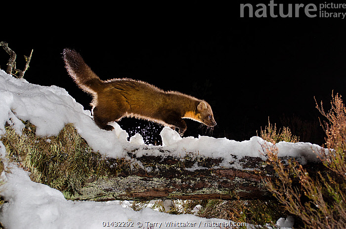 Pine marten (Martes martes) walking on snow covered log, Black Isle, Scotland, UK. March 2013. Photographed by camera trap. (This image may be licensed either as rights managed or royalty free.)  ,  CAMERA TRAPS,CARNIVORES,MUSTELIDS,NIGHT,PROFILE,REMOTE CAMERA,SCOTLAND,SNOW,UK,VERTEBRATES,WINTER,EUROPE,MAMMALS,MARTENS,MUSTELIDAE,United Kingdom,RF, royalty free, RF3,,RF3,,RF,  ,  Terry Whittaker