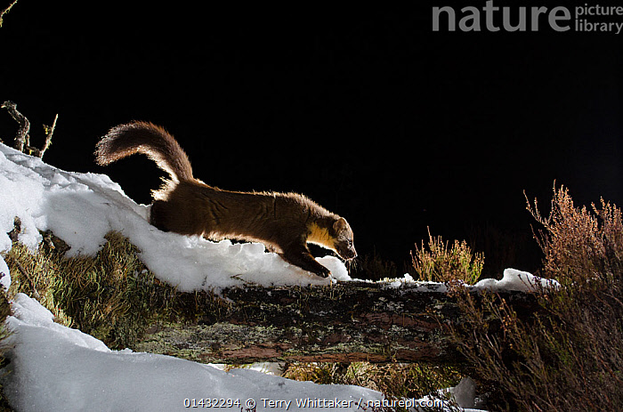 Pine marten (Martes martes) walking on snow covered log, Black Isle, Scotland, UK. March 2013. Photographed by camera trap.  ,  CAMERA TRAPS,CARNIVORES,MUSTELIDS,NIGHT,PROFILE,REMOTE CAMERA,SCOTLAND,SNOW,UK,VERTEBRATES,WINTER,EUROPE,MAMMALS,MARTENS,MUSTELIDAE,United Kingdom  ,  Terry Whittaker