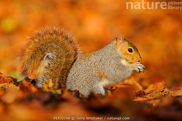 Grey Squirrel (Sciurus carolinensis) feeding among autumn leaves, Kent, UK. November 2012  ,  AUTUMN,EUROPE,MAMMALS,SCIURIDAE,SQUIRRELS,ENGLAND,PROFILE,RODENTS,UK,VERTEBRATES,United Kingdom  ,  Terry Whittaker