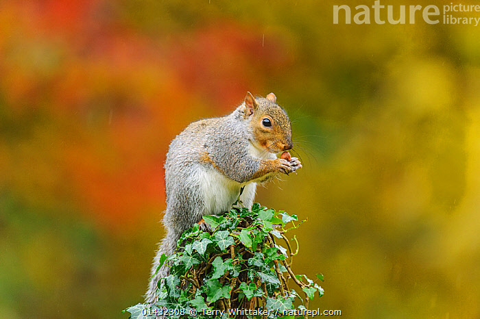 Grey Squirrel (Sciurus carolinensis) feeding on post in autumn, Kent, UK. October 2012  ,  ENGLAND,FEEDING,RODENTS,UK,VERTEBRATES,AUTUMN,EUROPE,MAMMALS,SCIURIDAE,SQUIRRELS,United Kingdom  ,  Terry Whittaker