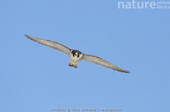 Peregrine Falcon (Falco peregrinus) in flight near the White Cliffs of Dover, Kent, UK. April 2012 (This image may be licensed either as rights managed or royalty free.)  ,  BIRDS OF PREY,BLUE BACKGROUND,ENGLAND,FALCONIDAE,UK,VERTEBRATES,BIRDS,CUTOUT,EUROPE,FALCONS,FLYING,United Kingdom,RF, royalty free, RF3,,RF3,,RF,  ,  Terry Whittaker