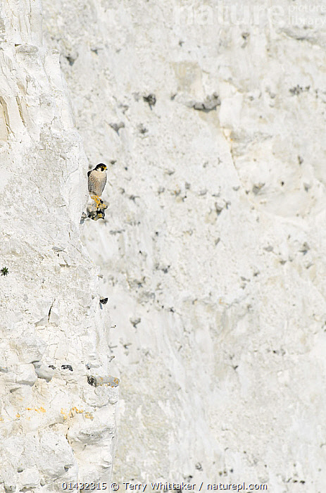 Peregrine Falcon (Falco peregrinus) perched on the  White Cliffs of Dover, Kent, UK. April 2012  ,  BIRDS,CLIFFS,COASTS,EUROPE,FALCONS,LANDMARK,BIRDS OF PREY,CAMOUFLAGE,ENGLAND,FALCONIDAE,LANDSMARKS,UK,VERTEBRATES,Geology,United Kingdom  ,  Terry Whittaker