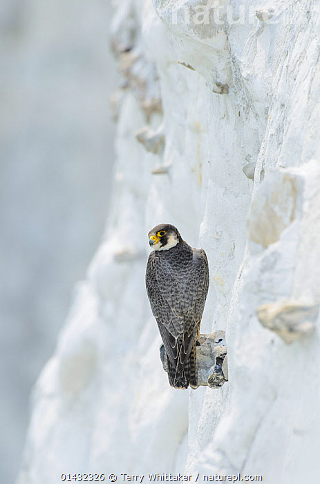 Peregrine Falcon (Falco peregrinus) on the White Cliffs of Dover, Kent, UK. May 2012  ,  BIRDS,CLIFFS,COASTS,EUROPE,FALCONS,LANDMARK,BIRDS OF PREY,ENGLAND,FALCONIDAE,LANDSMARKS,REAR VIEWS,UK,VERTEBRATES,Geology,United Kingdom  ,  Terry Whittaker