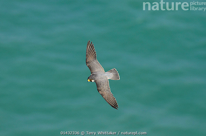 Peregrine Falcon (Falco peregrinus) in flight near the White Cliffs of Dover, Kent, UK. May 2012 (This image may be licensed either as rights managed or royalty free.)  ,  BIRDS OF PREY,ENGLAND,FALCONIDAE,UK,VERTEBRATES,BIRDS,COASTS,EUROPE,FALCONS,FLYING,United Kingdom,RF, royalty free, RF3,,RF3,,RF,  ,  Terry Whittaker