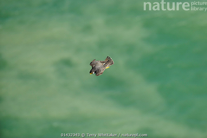 Peregrine Falcon (Falco peregrinus) diving after prey near the White Cliffs of Dover, Kent, UK. May 2012  ,  BIRDS,COASTS,EUROPE,FALCONS,FLYING,HUNTING,BIRDS OF PREY,ENGLAND,FALCONIDAE,UK,VERTEBRATES,United Kingdom  ,  Terry Whittaker