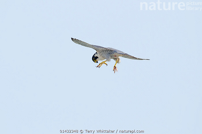 Peregrine Falcon (Falco peregrinus) in flight with its eye on prey, White Cliffs of Dover, Kent, UK. March 2012  ,  BIRDS,EUROPE,FALCONS,FLYING,HUNTING,BIRDS OF PREY,ENGLAND,FALCONIDAE,PREDATION,UK,VERTEBRATES,Behaviour,United Kingdom  ,  Terry Whittaker