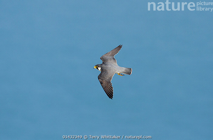 Peregrine Falcon (Falco peregrinus) in flight near the White Cliffs of Dover, Kent, UK. March 2012  ,  BIRDS,EUROPE,FALCONS,FLYING,BIRDS OF PREY,ENGLAND,FALCONIDAE,UK,VERTEBRATES,United Kingdom  ,  Terry Whittaker