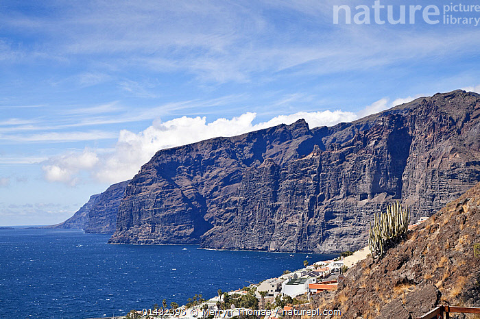 Los Gigantes cliffs, with Hercules club / Canary Island spurge (Euphorbia canariensis) on a hillside in the foreground, Tenerife, Canary Islands, Spain, March.  ,  ATLANTIC ISLANDS,CLIFFS,COASTS,EUPHORBIACEAE,EUROPE,PLANTS,SPAIN,CANARY ISLANDS,DICOTYLEDONS,ISLANDS,Geology  ,  Merryn Thomas