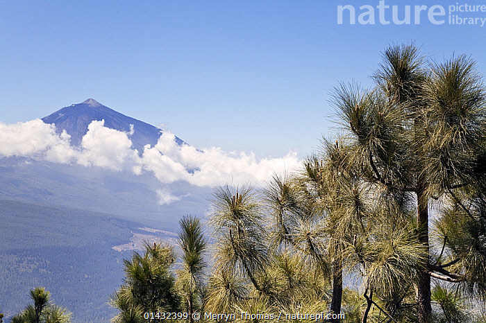 Mount Teide, with Canary pine trees (Pinus canariensis) in the foreground, seen from Mirador Chimaque, Tenerife, Canary Islands, Spain, April 2012.  ,  CANARY ISLANDS,CONIFERS,MOUNTAINS,PINACEAE,VOLCANOES,CLOUDS,EUROPE,GYMNOSPERMS,PINES,PLANTS,SPAIN,TREES,Weather,Geology  ,  Merryn Thomas
