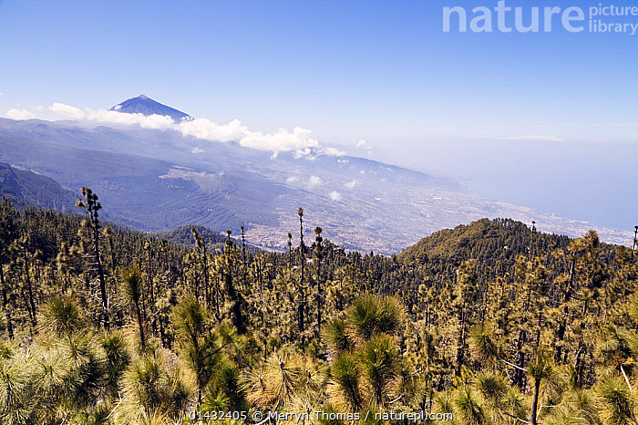 View of Mount Teide with Canary pine tree (Pinus canariensis) forest in the foreground, seen from Mirador Chimaque, Teide National Park, Tenerife, Canary Islands, Spain, April 2012.  ,  ATLANTIC ISLANDS,EUROPE,FORESTS,GYMNOSPERMS,PINES,PLANTS,SPAIN,UPLANDS,WORLD HERITAGE SITE,CANARY ISLANDS,CONIFERS,LANDSCAPE,LANDSCAPES,MOUNTAINS,NP,PINACEAE,RESERVE,UNESCO,VOLCANOES,National Park,Geology  ,  Merryn Thomas