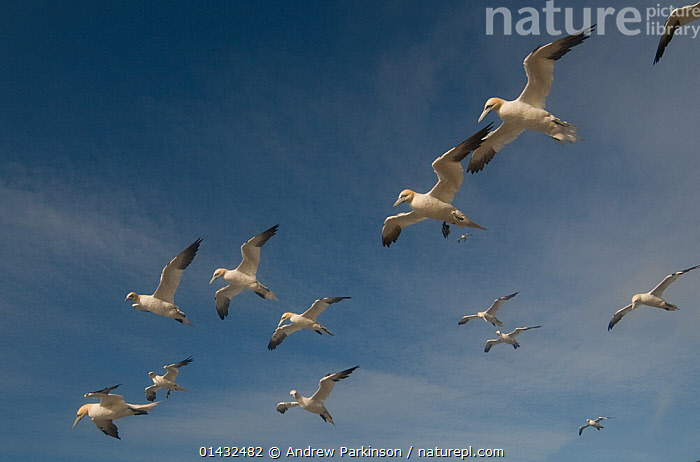 Gannet (Morus bassanus) adults flying in strong winds above the gannetry. Shetland Islands, Scotland, UK, August.  ,  BIRDS,COLONIES,COLONY,EUROPE,FLOCKS,FLYING,GANNETRY,GANNETS,GROUPS,MORUS BASSANUS,SCOTLAND,SEABIRDS,SHETLAND,SULIDAE,UK,VERTEBRATES,WIND,United Kingdom,Weather  ,  Andrew Parkinson