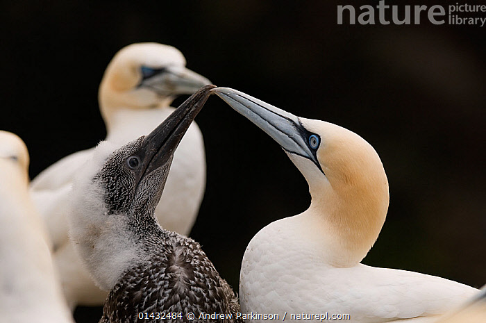 Gannet (Morus bassanus) chick taps the tip of its parent's bill to try stimulate the adult into regurgitating some food. Shetland Islands, Scotland, UK, July  ,  BABIES,BEAKS,BEHAVIOUR,BIRDS,CHICKS,EUROPE,FEATHERS,FEEDING,FLUFFY,GANNETS,INTERACTION,MORUS BASSANUS,PARENTAL,SCOTLAND,SEABIRDS,SHETLAND,SULIDAE,UK,VERTEBRATES,YOUNG,United Kingdom  ,  Andrew Parkinson