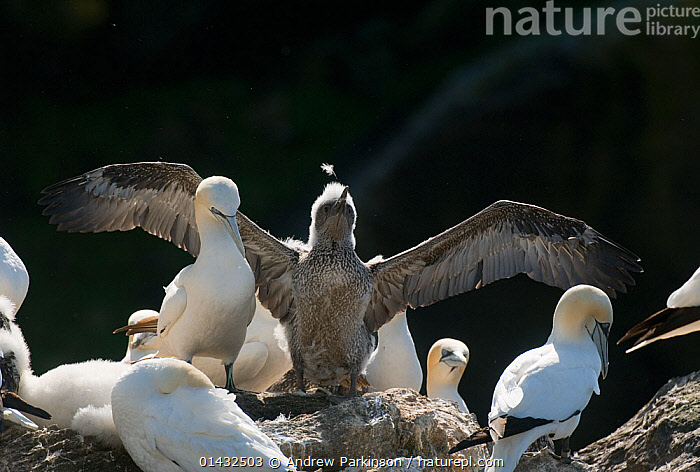Gannet (Morus bassanus) growing chick stretches its wings a small peice of fluff is dislodged from its head. Shetland Islands, Scotland, UK, August.  ,  BABIES,BIRDS,CHICKS,EUROPE,FEATHERS,FLUFFY,GANNETS,MORUS BASSANUS,SCOTLAND,SEABIRDS,SHETLAND,STRETCHING,SULIDAE,UK,VERTEBRATES,WINGS,YOUNG,United Kingdom  ,  Andrew Parkinson