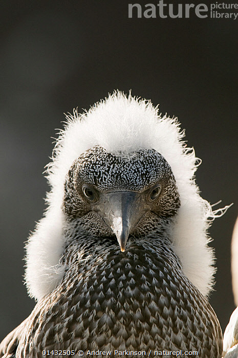 Gannet (Morus bassanus) portrait of a growing chick with a fluffy head, Shetland Islands, Scotland, UK, August.  ,  BABIES,BIRDS,CHICKS,EUROPE,EXPRESSIONS,FEATHERS,FLEDGING,FLUFFY,GANNETS,HAIR,HUMOROUS,MORUS BASSANUS,PORTRAITS,SCOTLAND,SEABIRDS,SHETLAND,SULIDAE,UK,VERTEBRATES,YOUNG,Concepts,United Kingdom  ,  Andrew Parkinson
