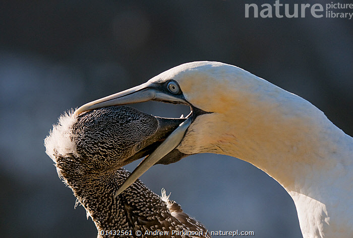 Gannet (Morus bassanus) adult regurgitates food for its growing chick. Shetland Islands, Scotland, UK,  September.  ,  BEHAVIOUR,BIRDS,CHICKS,EUROPE,FEEDING,GANNETS,MORUS BASSANUS,MOUTHS,PARENTAL,REGURGITATING,SCOTLAND,SEABIRDS,SULIDAE,UK,VERTEBRATES,YOUNG,United Kingdom  ,  Andrew Parkinson